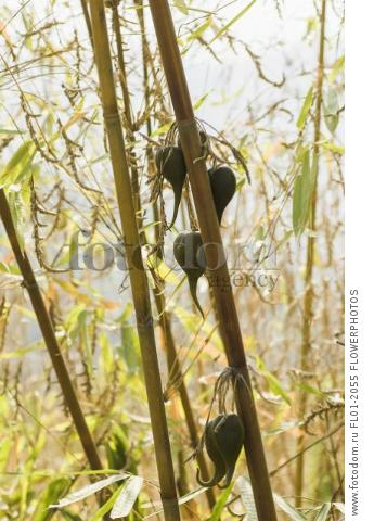 Bamboo, Bambusa cultivar, Rare bamboo fruit hanging from stems, usually flowers every 50 years.