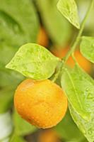 Calamondin, Citrus madurensis, Fruit growing with