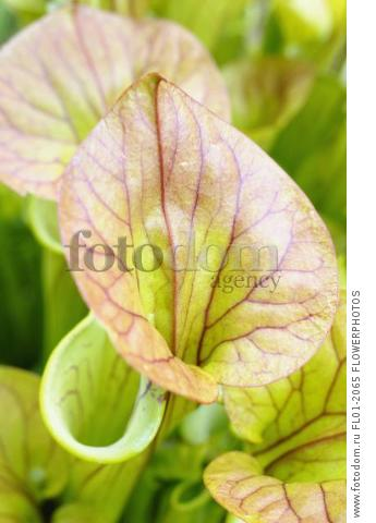 Pitcher plant, Sarracenia, Close up showing open tubes.