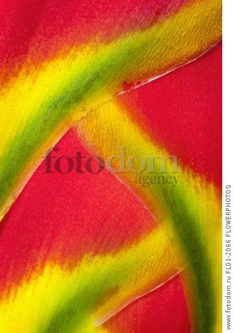 Heliconia rostrata, often known as Lobster claw, Detail of the bright red petals tipped with yellow and green, Overlapping to create a pattern.