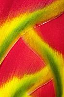 Heliconia rostrata, often known as Lobster claw, D