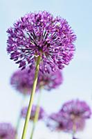 Allium Hollandicum 'Purple Sensation' Side view of