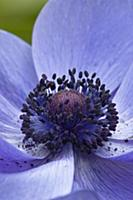 Anemone coronaria cultivar, Close view of centre o