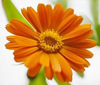 Marigold, Calendula officinalis. Close front view