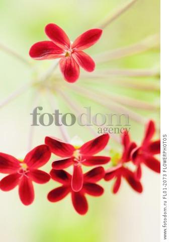 Pelargonium ardens, Close up of small red flowers each with five petals.