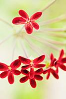 Pelargonium ardens, Close up of small red flowers