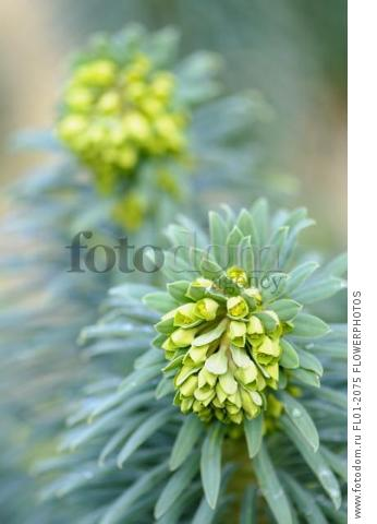 Mediterranean spurge, Euphorbia characias wulfenii, Top close view of 2 unfurling flowerheads over whorls of grey green leaves,