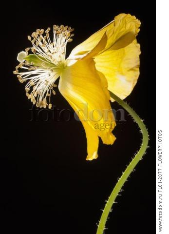 Poppy, Welsh poppy, Meconopsis cambrica, Side view of the fading, yellow flower on a thin hairy stem, The petals are swept back, causing the stamens and stigmas to protrude prominently, Backlit high contrast lighting, against black background.