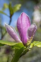 Magnolia x soulangeana 'Lennei', One pink flower o