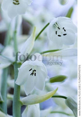 Summer hyacinth, Galtonia candicans, Pendulous white flowers with black tipped stamens.