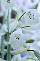 Summer hyacinth, Galtonia candicans, Pendulous whi