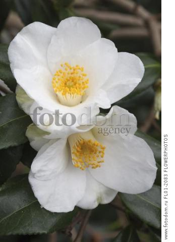 Camelia x williamsii 'Francis Hanger', Close view of two open white single petalled flowers with yellow tipped white stamens.