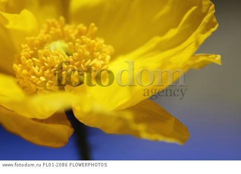 Icelandic poppy, Papaver nudicaule, Close cropped view of yellow flower with yellow stamens against blue sky,