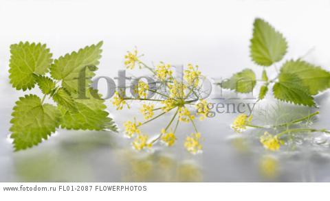 Fennel, Foeniculum vulgare flowering umbel arranged with nettle, Urtica dioica sprigs on silver background in water. Selective focus.