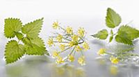 Fennel, Foeniculum vulgare flowering umbel arrange
