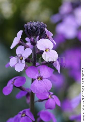 Perennial wallflower, Erysimum 'Bowles Mauve', Close view of one flowerhead of pale and darker purple flowers.