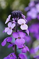 Perennial wallflower, Erysimum 'Bowles Mauve', Clo