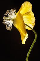 Poppy, Welsh poppy, Meconopsis cambrica, Side view
