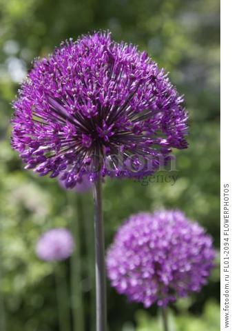 Allium Hollandicum 'Purple Sensation', Single stem in full flower with others behind.