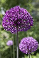 Allium Hollandicum 'Purple Sensation', Single stem