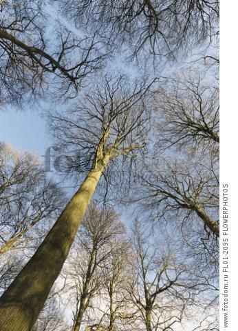 Beech, Fagus sylvatica, Underneath view of a woodland of tall, slender trees with bare branches against blue sky, The trunk of one tree reaching up to the centre.