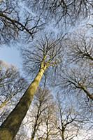 Beech, Fagus sylvatica, Underneath view of a woodl