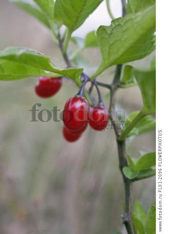 Bittersweet, Solanum dulcamara, Close view of group of red berries on a stem with leaves.