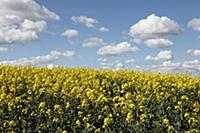 Brassica, Oilseed rape, A mass of yellow flowers a