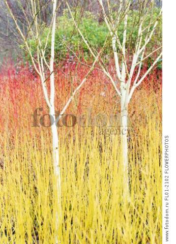 Birch – Himalayan birch, Betula utilis var, jacquemontii, 2 small trees in a bed of bare orange and yellow shrub  Dogwood, Cornus sanguinea 'Anny's Winter Orange'.