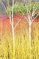 Birch – Himalayan birch, Betula utilis var,