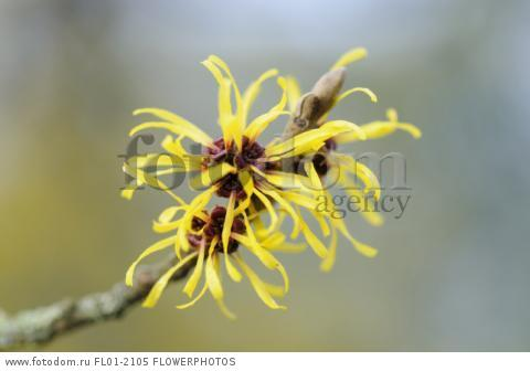 Witch hazel, Hamamelis x intermedia 'Pallida', Close view of a twig bearing shaggy long thin petalled yellow flowers .