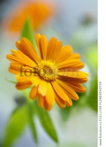 Marigold, Calendula officinalis. Close front view of one open orange flower with leaves behind. Selective focus.
