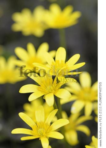 Lesser celandine, Ranunculus ficaria 'Brazen Hussy', Several open daisy shape yellow flowers with yellow stamens.