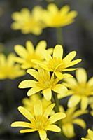 Lesser celandine, Ranunculus ficaria 'Brazen Hussy