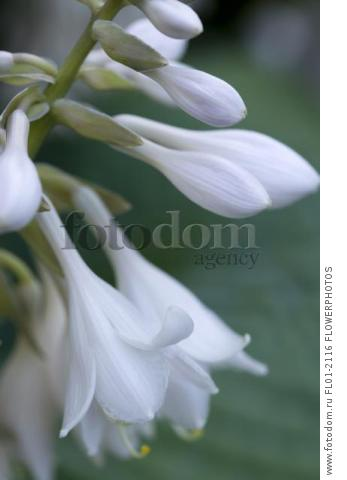 Hosta cultivar, Close up of white pendulous flowers growing on a plant against a green background.