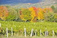 Fall Colors Winery Vineyards Finger Lakes Region N
