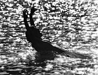 Skinnydipping. Girl swimming in the sea, 1971.