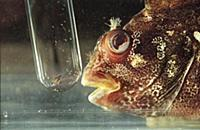 Picture by Roger Bamber : A young Tompot Blenny is