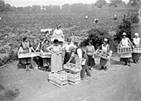 Strawberry harvest. 1934
