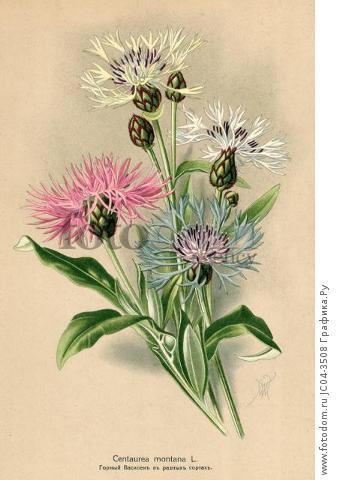 Василёк горный (Centaurea Montana L.). Многолетники наиболее красивые и пригодные для садовой культуры. Санкт-Петербург, 1913