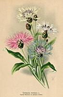 Василёк горный (Centaurea Montana L.). Многолетник