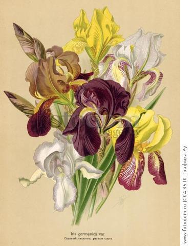 Ирис германский (Iris germanica var.). Многолетники наиболее красивые и пригодные для садовой культуры. Санкт-Петербург, 1913