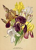 Ирис германский (Iris germanica var.). Многолетник