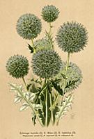 Мордовник низкий; М. обыкновенный; М. гибридный (E