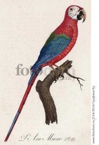 Красный ара, или араканга (лист 1 иллюстраций к первому тому Histoire naturelle des perroquets Франсуа Левальяна. Изображения попугаев из этой работы считаются одними из красивейших в истории. Париж. 1801 год)