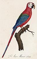 Красный ара, или араканга (лист 1 иллюстраций к пе