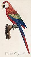 Красный ара, или араканга (лист 2 иллюстраций к пе
