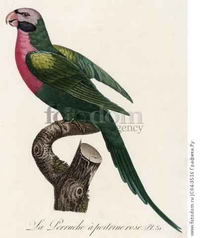 Розовобрюхий попугайчик (лист 31 иллюстраций к первому тому Histoire naturelle des perroquets Франсуа Левальяна. Изображения попугаев из этой работы считаются одними из красивейших в истории. Париж. 1801 год)