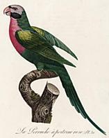 Розовобрюхий попугайчик (лист 31 иллюстраций к пер