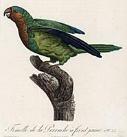 Самка желтолицего амазона (лист 35 иллюстраций к п